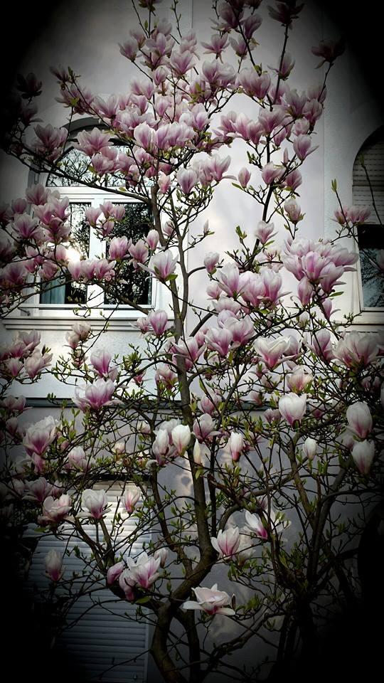 Magnolienbaum als Ort der Hoffnung beim Kinderwunsch
