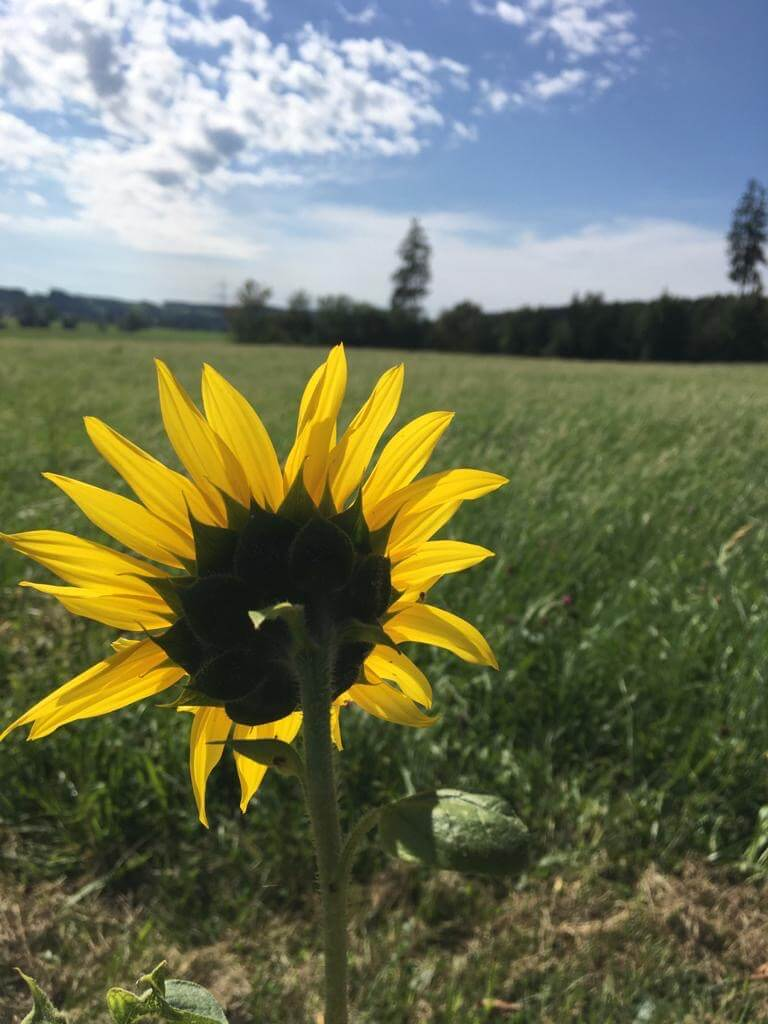 Sonnenblume in Landschaft-Wichtige Artikel zum Umgang mit dem Kinderwunsch-Blogparade auf www.kindersehnsucht.de